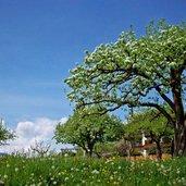 Frühlingsblüte Obstbaum Sankt Valentin Seis