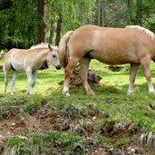 D-0465-voelser-aicha-haflinger-pferde-fohlen.jpg