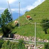 D-1006-kuehe-auf-steilem-gelaende-weg-nr-4-marinzen-kastelruth.jpg