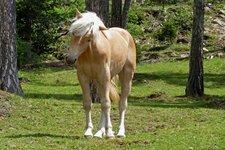 Pferde Reiten Haflinger Völs