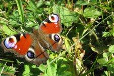 Flora Fauna Seiser Alm Pfauenauge Schmetterling